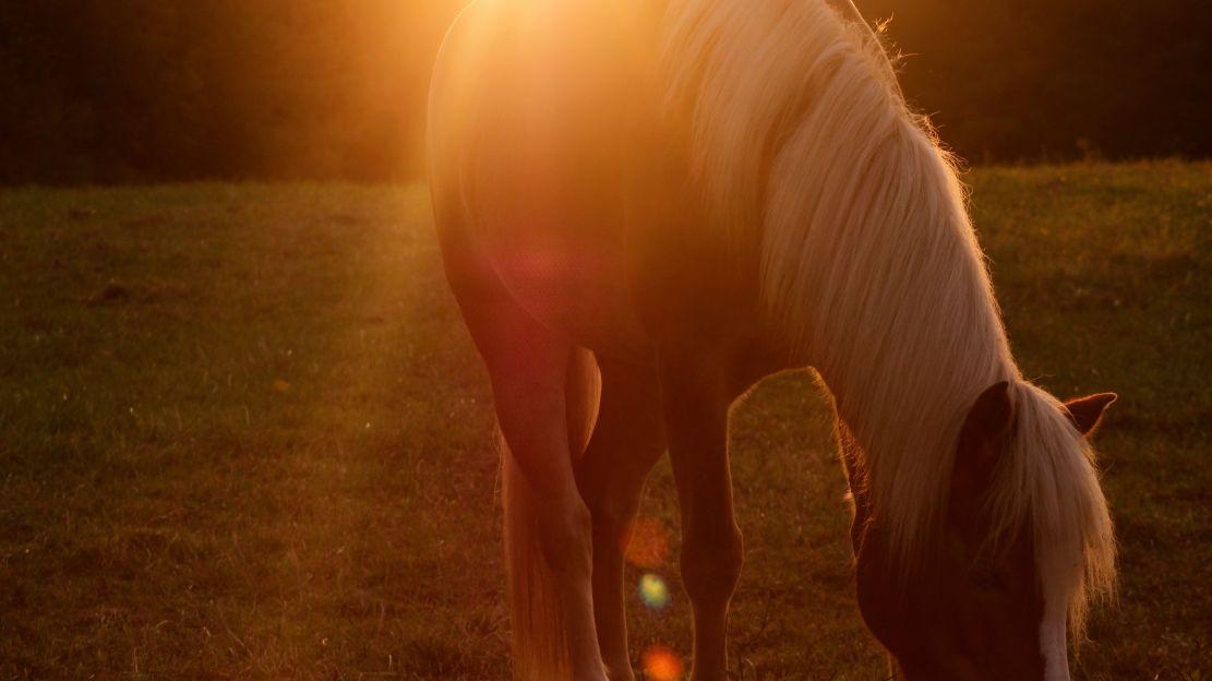 Haflinger - das Arbeitspferd