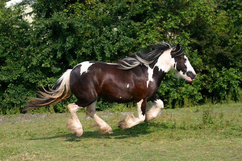 tinker pferderasse