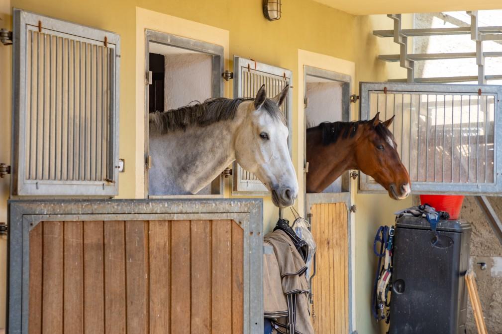 Pferde schauen aus dem Stall