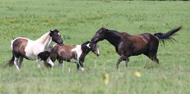 spielende Pferde
