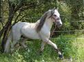 Pferderasse Andalusier