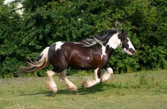 Pferderasse Tinker
